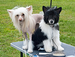 Собаки на столе в ожидании ринга