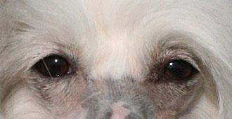 Собака с миндалевидными глазами